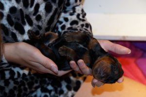gordon-setter-puppies