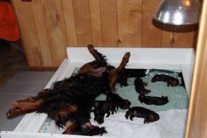 gordon-setter-puppies